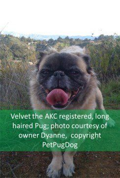 The Long Haired Pug Pug Dog Information Center