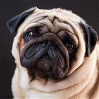 handsome Pug dog, close up