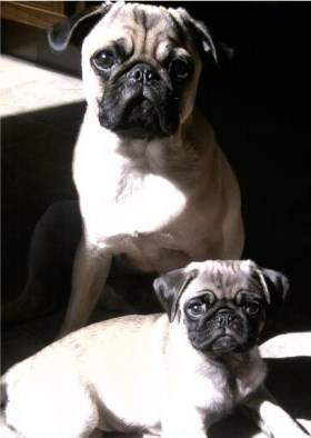 pugs 1 1 280x394 pug age growth chart puppy and adult
