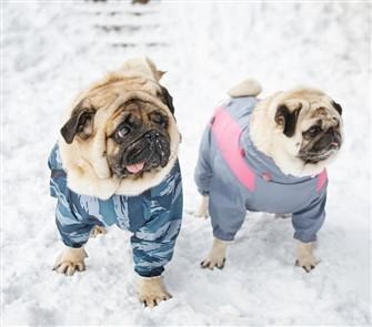 pugs-in-winter-snow