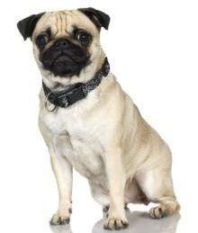 Pug dog with rose ears