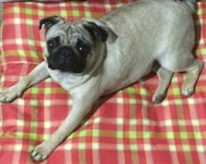 Pug Dog Colors Complete Pug Color Guide