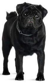 solid black Pug dog