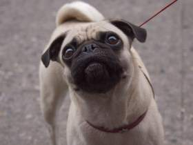 Pug with loose tail over back
