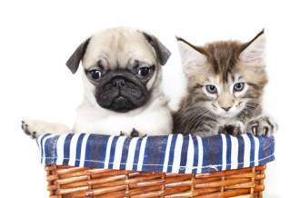 Tiny Pug dog with kitten