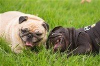 two-pug-dogs-playing