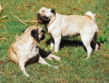 Two Pug dogs playing together