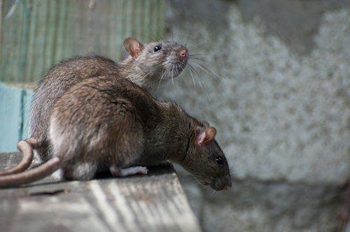 due topi