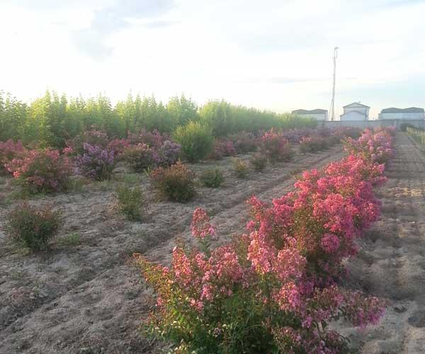 terreno con  piante rosa e viola su due file a Candiana