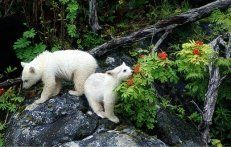 Great Bear Rainforest in British Columbia