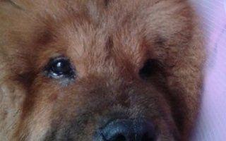 chirurgia estetica cani