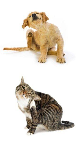 Prurito del cane e del gatto siena centro veterinario for Puntura processionaria