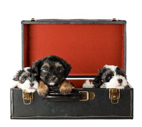 Local Moving Company — Terrier Puppies in Lorton, VA