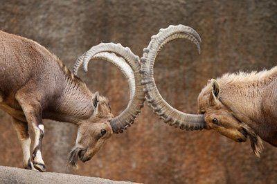 Ibex Goat Goat hunting an...