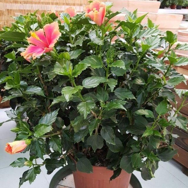 pianta e due fiori rosa