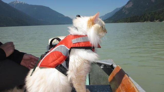 Cat with life jacket on a boat