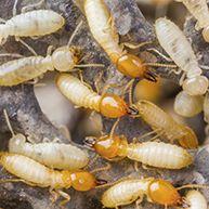 termite control Laredo, TX