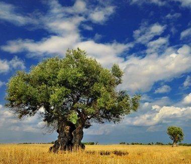 vecchio albero d'ulivo