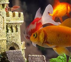 pesce rosso