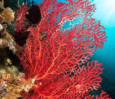 coralli marini