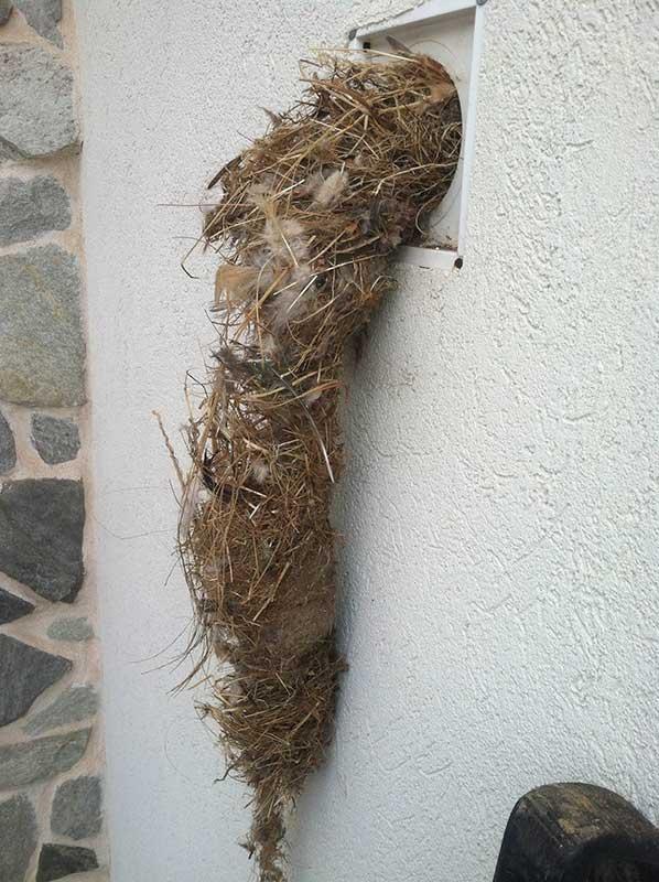 Birdu0027s Nest Inside Dryer Vent