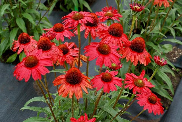 Friday Flower Feature The Coneflower