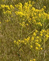 Dyer's Woad Noxious Weeds