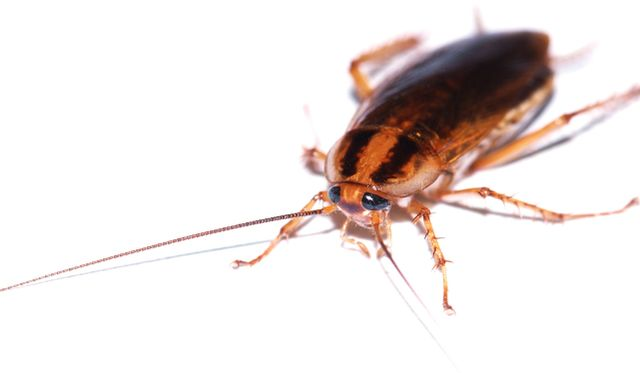 Isolated image of a German Roach