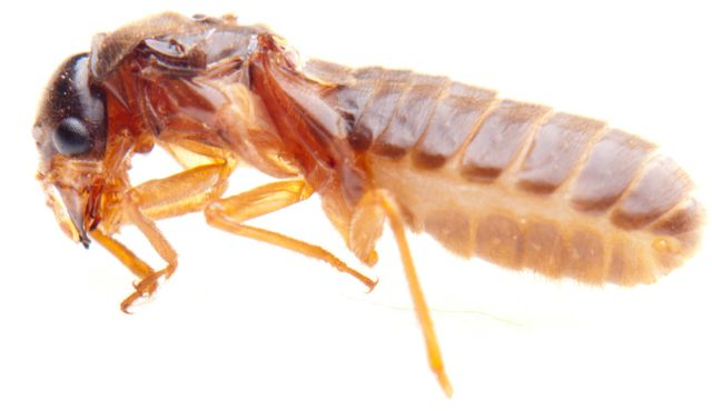 Termites exterminated by our Pest Control in Waipahu, HI