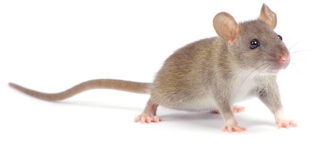 Mouse we target with Rodent Control in Honolulu