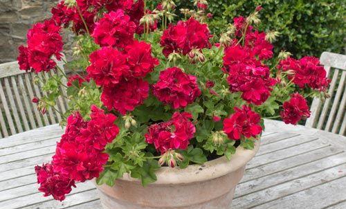 vaso con fiori rossi su sfondo legno