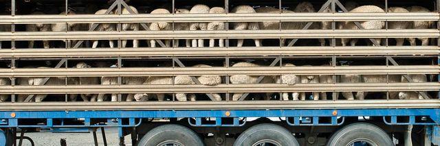 Livestock Transport   Victoria   Heywood Livestock & General
