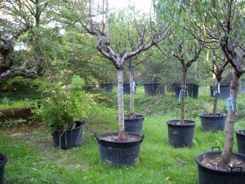Alberi da frutto alberi per giardini posa alberi with for Alberi da giardino piccoli
