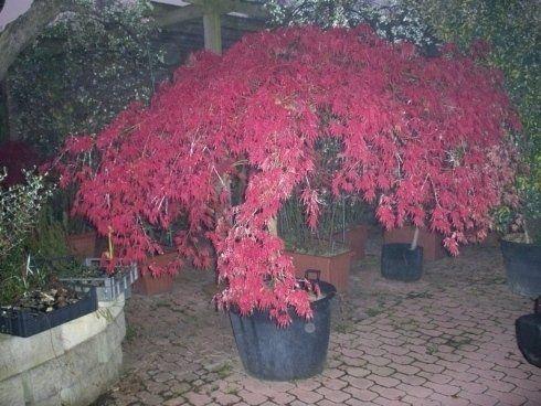 Vivaio Acero Rosso : Le piante ed i fiori torino sartorelli vivai fotogallery