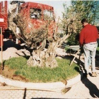 piantumazione olivo, posa alberi, alberi per giardini
