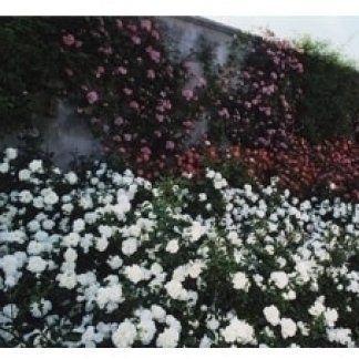 realizzazione roseti, roseti per ville, roseti per giardini