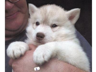 cucciolo siberian husky