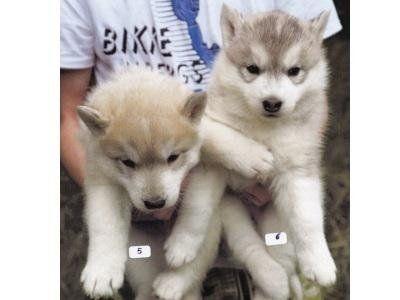 cuccioli cani husky