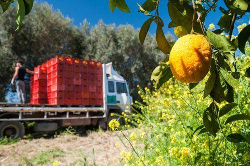 Primo piano vista di un arancio su l'albero e un camion carico di cassette di frutta