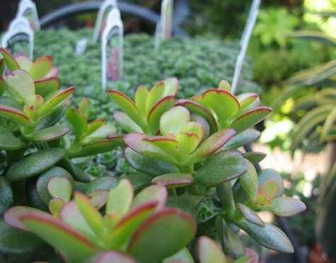 Succulent Plant San Francisco Ca Indoor Plants