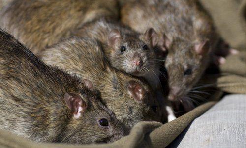 Rat control | Latham Pest Control