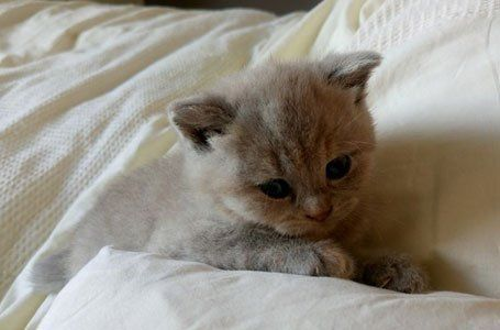 British Shorthairs for sale in Barnsley | Hoptonpaws Pet Transport