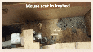 mouse scat in keybed