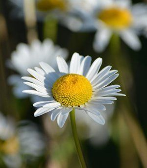 Chamomile Flower used for enema therapy by Hertfordshire Colonics