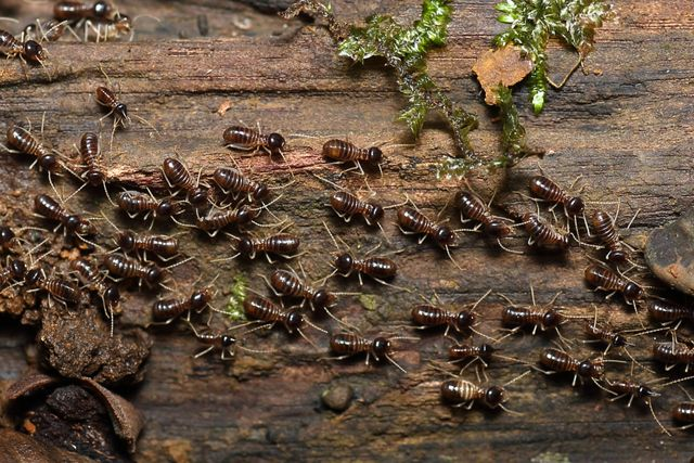 termites crawling on a piece of wood