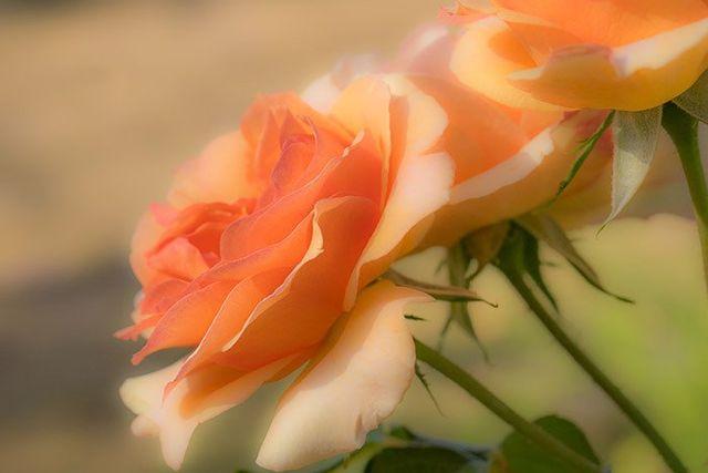 online sympathy flowers in Rangiora