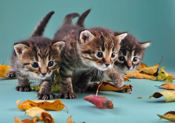Tre gattini che giocano con le foglie