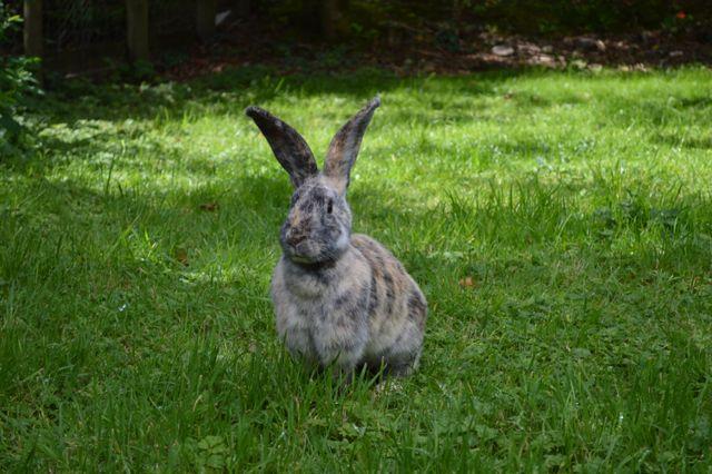 Long eared rabbit in long grass