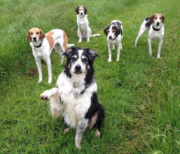 a group of dogs in a field - the leader raising a paw