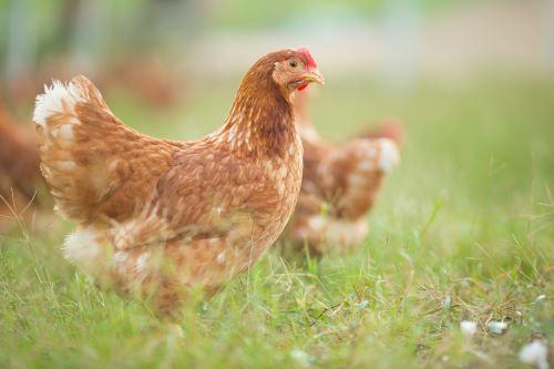 una gallina sul prato